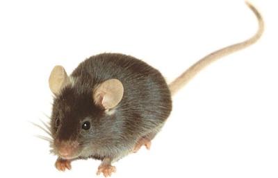 Как поймать мышь без мышеловки?