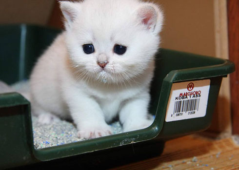 Высадка котенка в лоток