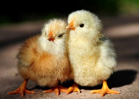 Почему цыплята падают на ноги?
