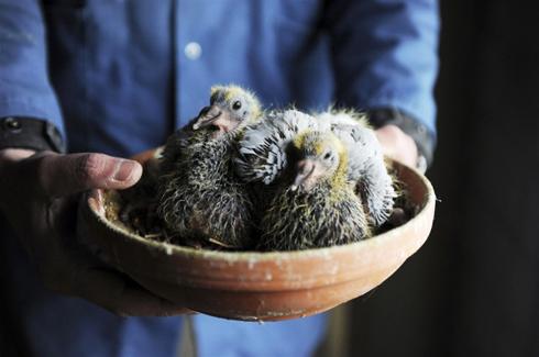 Отыскать место гнездования голубей – очень непростая задача