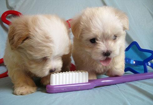 С какого возраста нужно чистить зубы собаке?