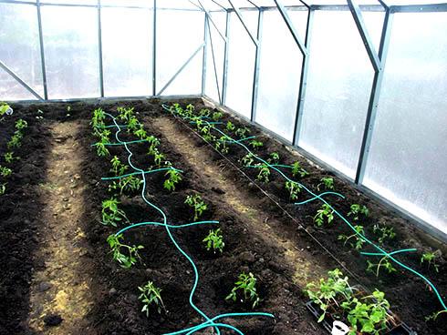 Орошение помидоров в теплице