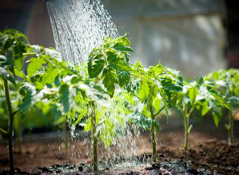 Как поливать помидоры?