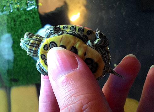 Уход за красноухой черепахой в домашних условиях