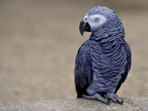 как научить говорить попугая Жако?