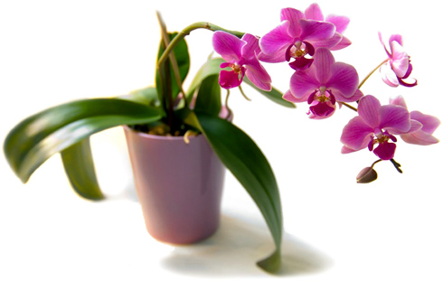 Как правильно поливать орхидеи?