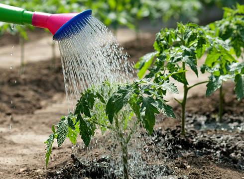 Как поливать помидоры в теплицах?