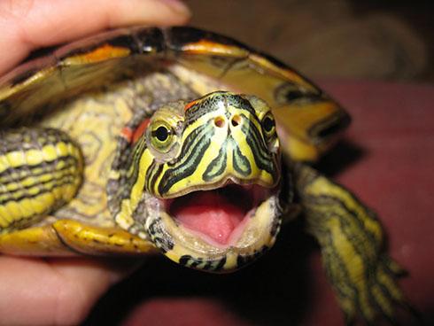 Как ухаживать за красноухой черепахой?