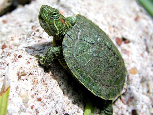 Уход за краснноухими черепахами