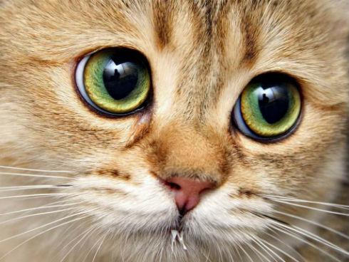 Что делать, если у кошки слезятся глаза?
