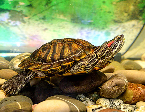 Как следить за красноухой черепахой?