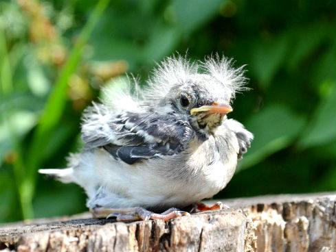 Как спасти птенца?